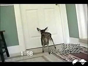Baby deer uses cat door