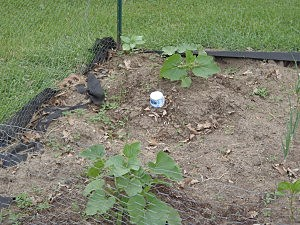 Cars 108 garden June 15, 2 weeks after planting