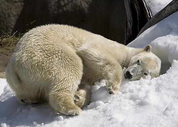 A Polar Bear Enjoys Snow