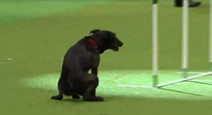 Dog poops during Crufts dog show competition