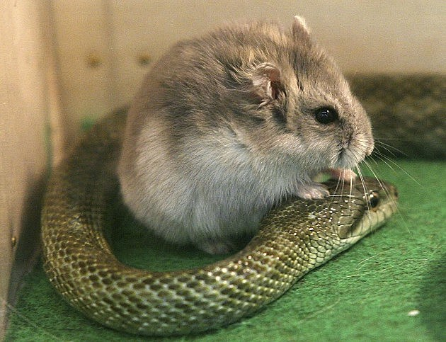 Hamster and Snake