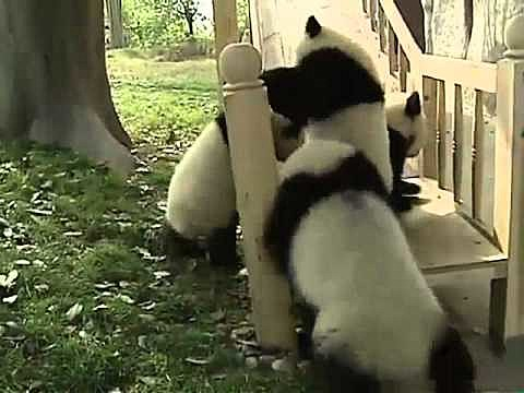 baby Pandas and a slide