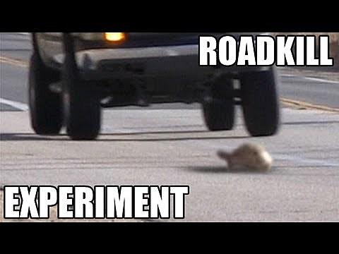 roadkill experiment