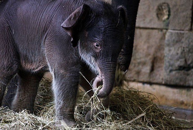 Newborn Baby Elephant In Berlin