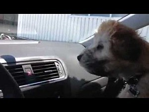 Watch this soft coated wheaten terrier face off against the air conditioner