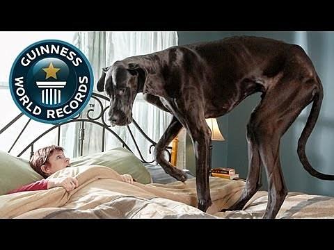 World's tallest dog 2012
