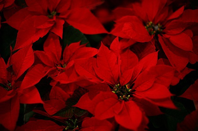 order poinsettias to help big brothers/big sisters of flint