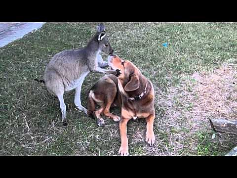 kangaroo and dog smooching