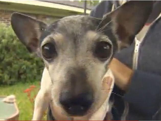 rat terrier named Cujo