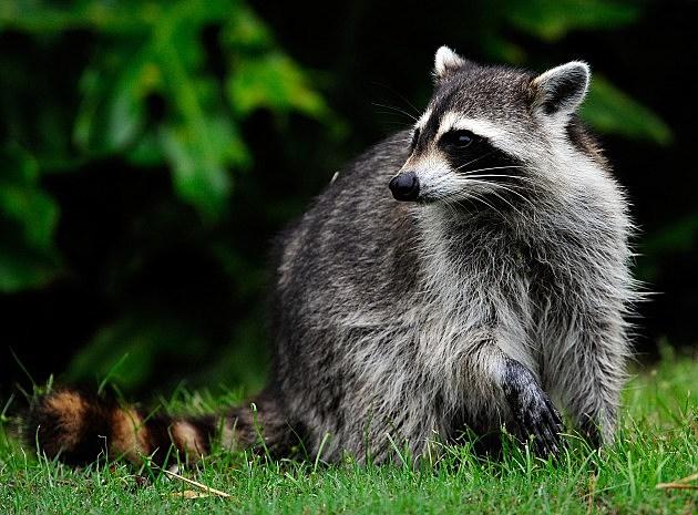 Raccoon in my bedroom status update