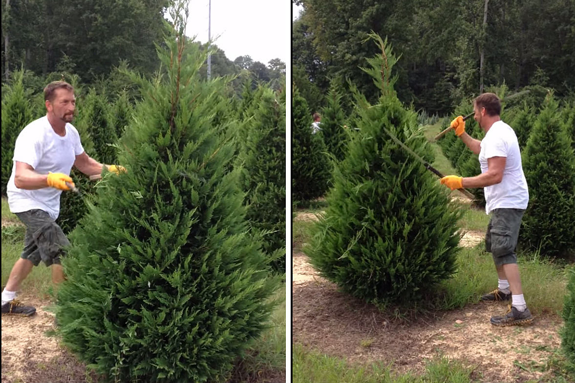 Watch This Guy Trim Christmas Trees Like a Boss [VIDEO]
