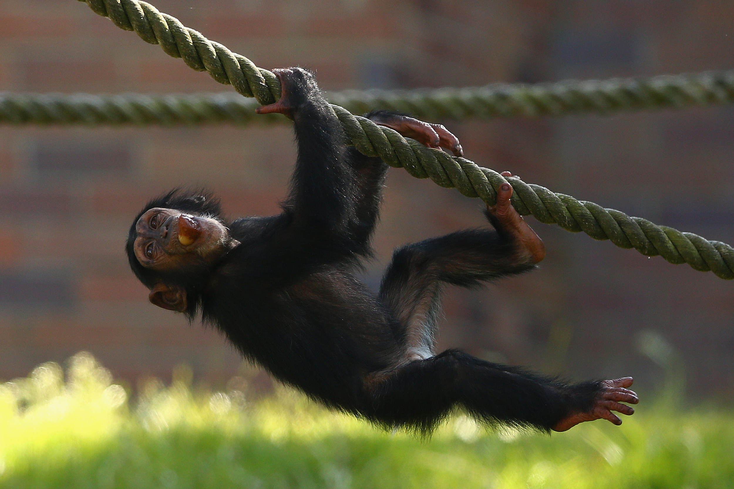 Chimpanzee's At Taronga Zoo Escape Sydney Heat